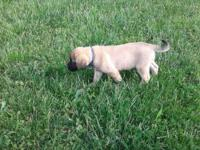 AKC Fawn English Mastiff puppies. Family raised on our