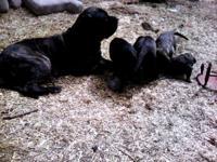 2 female 2 male dark brindle . Both parents on premises