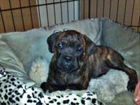 Mastiff - Remi - Extra Large - Baby - Female - Dog Remi