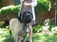 Mastiff - Sammy - Extra Large - Adult - Male - Dog