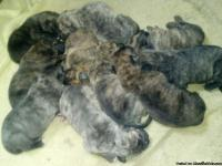 Mastiff puppies for sale. Mom is English mastiff and