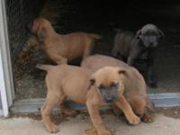 ITALIAN MASTIFF AKC REG BOTH MALES AND FEMALES