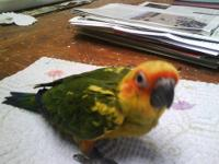 I have two mated sun conures for sale with a huge cage.