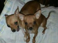 Mateo is a very small Chihuahua very spirited. He is 4