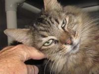 MATER's story This handsome Maine Coon fellow is Mater.