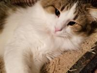 Matthew is a stunning brown and white tabby and his