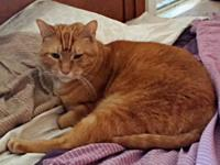 Matthew is a BIG orange boy, a classic tabby with bold