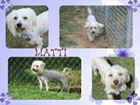 Matti's story Matti is a 5 year old Maltese mix
