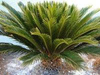 MATURE SAGO PALMS FOR SALE.VARIOUS SIZES.PRICES RANGE