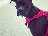 Maui's story Maui is a 3 year old female Boxer. She is