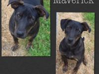 Maverick is a young adult  ( 0 months) male Lab mix,
