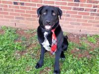 """Maverick""  Male 1 year old Labrador Retriever /"
