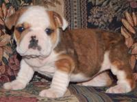 Mavis is a sable fawn female English Bulldog puppy with