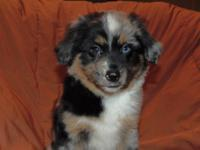 Max is a blue merle male miniature australian