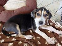 Max's story Max is a 10 week old lab / beagle mix. He