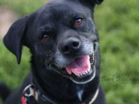 Max is an adorable Black Lab and Pug mix. He is 5 years