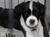 Max's story Meet Max, he's a little Border Collie mix
