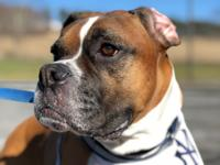 MAX is a 7 year old purebred Boxer who we have been