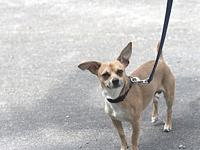 Max's story Max Chihuahua Mix 2 Year Old/Male Max is a
