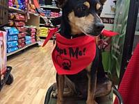Max's story Max is a 6 year old Miniature Pinscher mix.