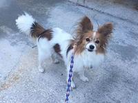 Max's story Please contact PapillonPals@comcast.net for