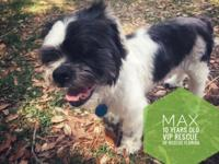 Meet Max!  Max is a 10-years-old Shih Tzu weighing