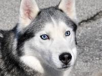 """MAX"" - Husky 10 yrs   Male  I'm a friendly and very"