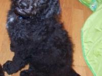2ND generation BLACK Labradoodle Young puppy: Ready to
