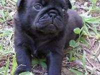 Max is an AKC Solid Black Male Pug Puppy born 8-5-15!