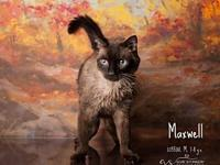 Maxwell's story MAXWELL WAS NEUTERED @HSOY 11/27/2018