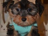 SALE NOW (700.00)-- Yorkie Poo male- DOB: 9/1/14-- PURE