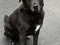 My story Maxx is a 3-year-old neutered male black lab.