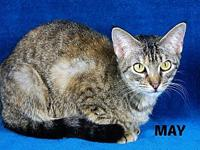 May's story This cutie is a 7 month old brown tabby.