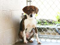 Maya is a young adult Beagle mix.  Maya is terrified at