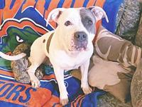 Maya's story 3 yr old gray and white pit bull . She is