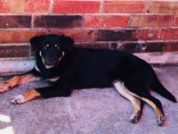 Just arrived, Maya is a Rottie mix, five or six months