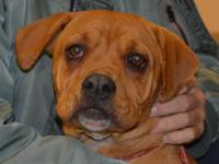 Maybell (#352065) is a 9 month old Boxer/Rhodesian