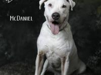 McDaniel is a five year old deaf Catahoula Leopard