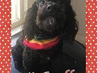 McGruff's story McGruff is a 2 year old male poodle. He
