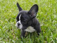Female frenchie pup looking for her forever home. Ready