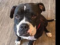Meatloaf's story Meatloaf is a three year old Bully