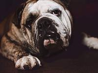 My story Meaty is a 2 year old purebred English Bulldog