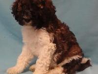 Medium sized Parti Labradoodle Puppies. 1 male and 2