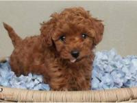 Northwest Poodles has a sweet little girl that will be