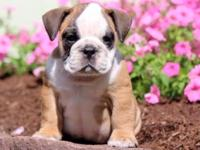 meek English Bulldog puppies for new