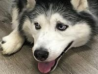 Meeko's story Meeko is an adult Husky who is
