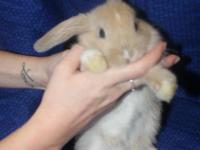 Allie Is The Cutest Holland Lop Bunny Looking For Her