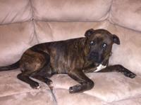 """Meet Alpha"" 4yr old Male Pitbull/Boxer/Mix Up-to-date"