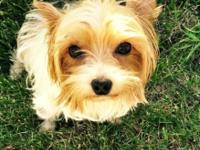 3 year old Yorkie for adoption. She is Spayed and