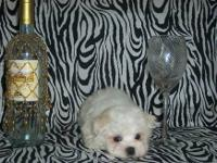 "Meet ""Fynn"", an adorable AKC Maltese male puppy. Fynn"